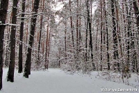 Winter forest in Ukraine.